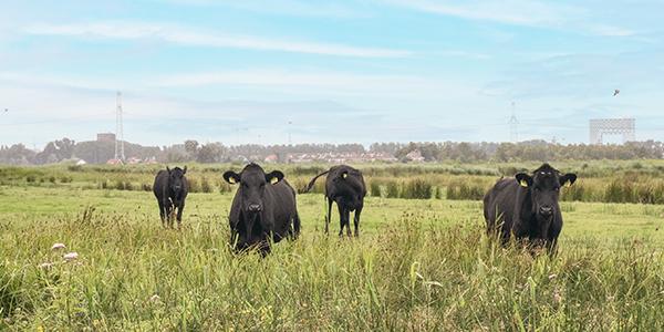 Black Angus Westlandrunderen staan op een groen weiland te grazen met de skyline van Amsterdam op de horizon.